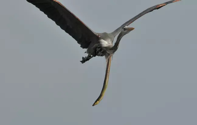 Thiên nhiên dữ dội: Cá chình đâm thủng diều chim diệc để chui ra ngoài sau khi bị nuốt sống - Ảnh 2.