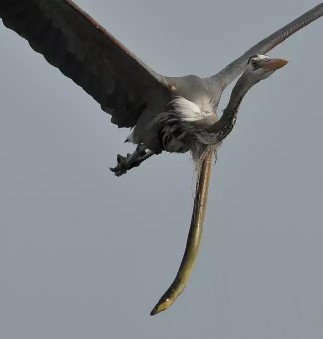 Thiên nhiên dữ dội: Cá chình đâm thủng diều chim diệc để chui ra ngoài sau khi bị nuốt sống - Ảnh 3.