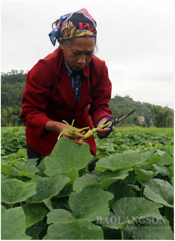 Hiệu quả bước đầu mô hình trồng bí bao tử ở xã Điềm He - Ảnh 1.