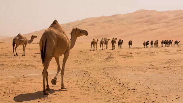 1001 thắc mắc: Không phải là nước, vậy bướu trên lưng lạc đà là gì? - Ảnh 1.