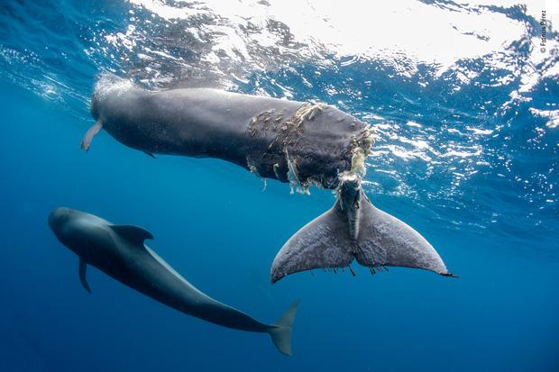 Bức ảnh cá voi mất đuôi khiến người xem nhói lòng: Dù vô tình hay hữu ý, lỗi vẫn là ở con người - Ảnh 1.