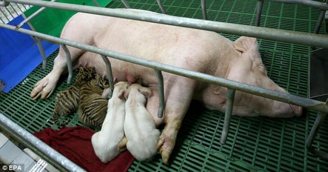 Con mồi nuôi kẻ săn mồi: Thái độ của con hổ khi lớn khiến nhân viên sở thú bất ngờ - Ảnh 1.