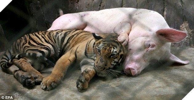 Con mồi nuôi kẻ săn mồi: Thái độ của con hổ khi lớn khiến nhân viên sở thú bất ngờ - Ảnh 3.
