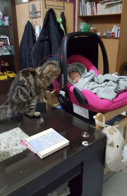 Mèo cưng nhìn chằm chằm vào con nhỏ nhưng chủ nhân không bận tâm, một hôm về nhà sớm mới nhận ra bộ mặt thật của con vật tâm cơ - Ảnh 1.