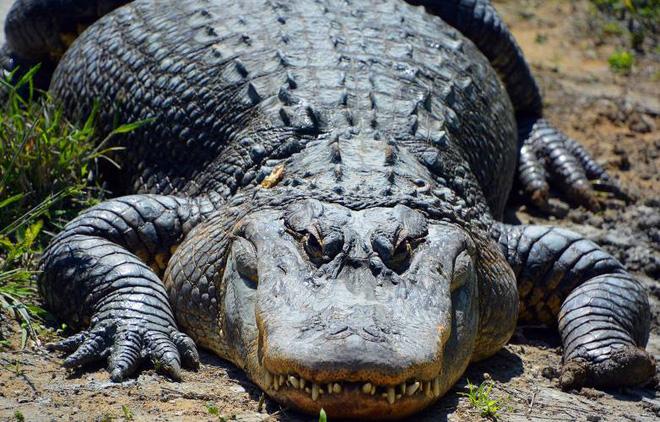 Không ai biết rằng cá sấu có thể mọc lại đuôi giống thằn lằn - Ảnh 1.