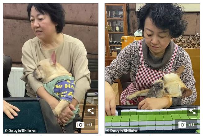 Chú chó bull gây sốt mạng xã hội xứ Trung vì quá đáng yêu, chủ cứ đánh bài là lăn ra ngủ - Ảnh 1.
