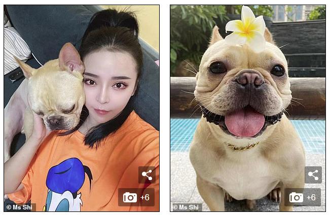 Chú chó bull gây sốt mạng xã hội xứ Trung vì quá đáng yêu, chủ cứ đánh bài là lăn ra ngủ - Ảnh 2.