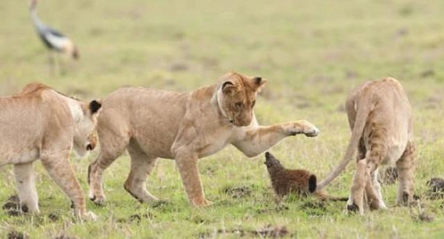 Con mồi dọa nạt kẻ đi săn: Phản ứng của cầy Mangut khiến bầy sư tử chết lặng! - Ảnh 1.