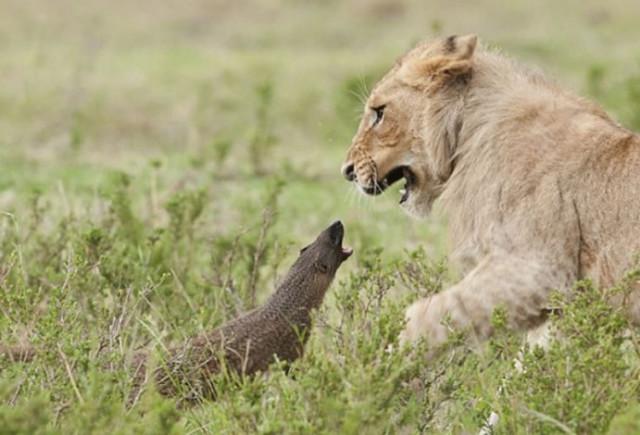 Con mồi dọa nạt kẻ đi săn: Phản ứng của cầy Mangut khiến bầy sư tử chết lặng! - Ảnh 3.