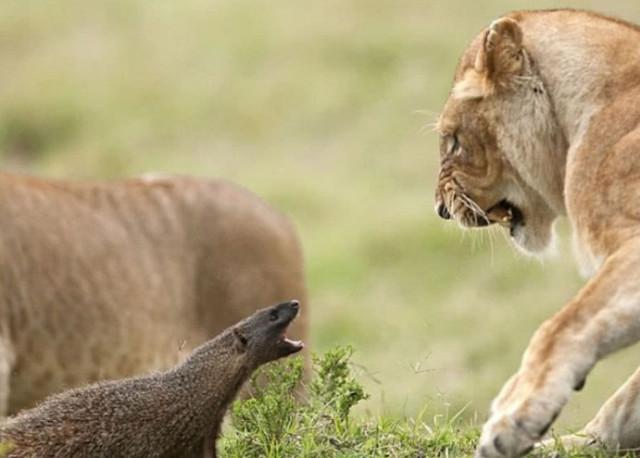 Con mồi dọa nạt kẻ đi săn: Phản ứng của cầy Mangut khiến bầy sư tử chết lặng! - Ảnh 2.