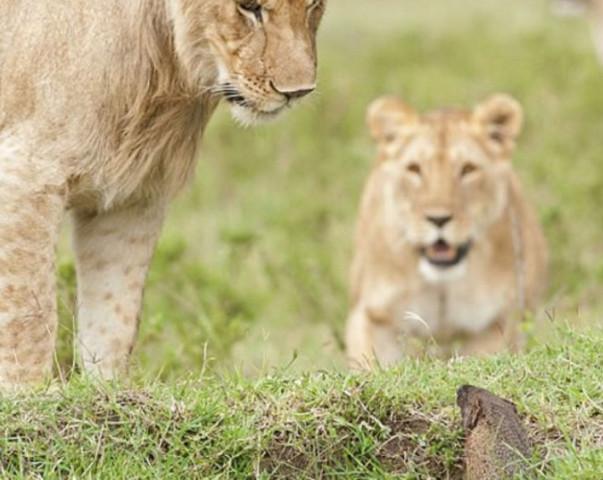 Con mồi dọa nạt kẻ đi săn: Phản ứng của cầy Mangut khiến bầy sư tử chết lặng! - Ảnh 4.