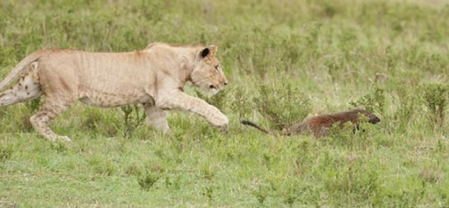 Con mồi dọa nạt kẻ đi săn: Phản ứng của cầy Mangut khiến bầy sư tử chết lặng! - Ảnh 5.