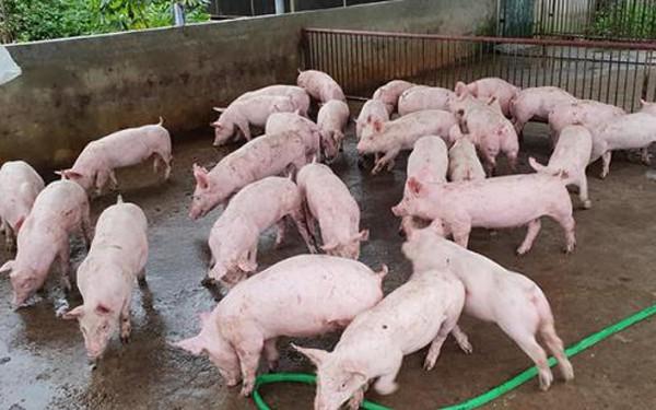 Giá lợn hơi giữ ở mức cao, thương lái lỗ nặng - Ảnh 3.