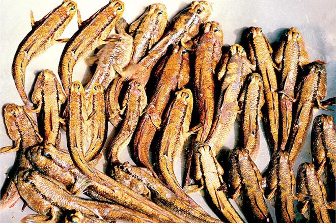 Việt Nam có một loài cá biết leo cây, chạy nhảy và còn là đặc sản nổi tiếng cả một vùng - Ảnh 1.