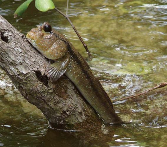 Việt Nam có một loài cá biết leo cây, chạy nhảy và còn là đặc sản nổi tiếng cả một vùng - Ảnh 2.