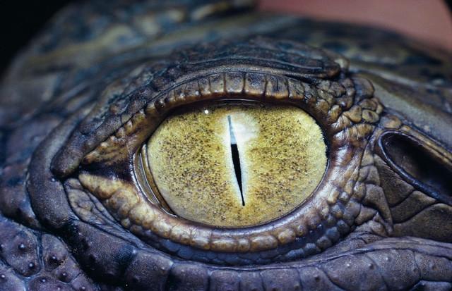 1001 thắc mắc: Vì sao cá sấu có thể giết chết kẻ thù ngay cả khi ngủ? - Ảnh 1.