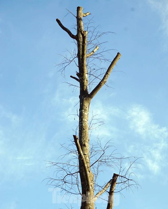 Hàng loạt cây xanh chết khô trên đường nghìn tỷ ở Hà Nội - Ảnh 6.