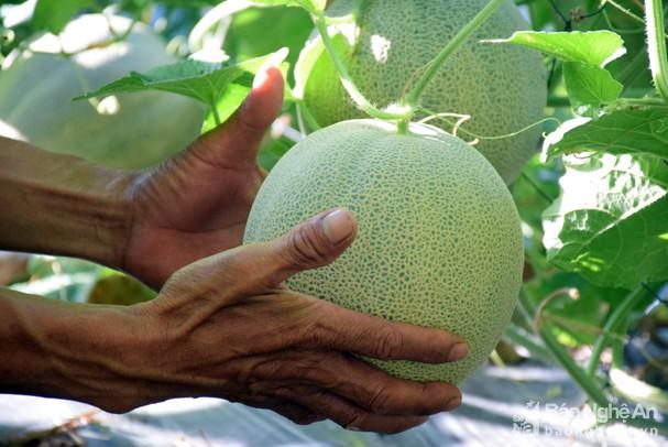 Dưa lưới trồng ngoài trời ở Nghệ An trĩu quả, đắt hàng ngày nắng nóng - Ảnh 1.