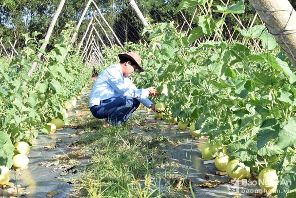 Dưa lưới trồng ngoài trời ở Nghệ An trĩu quả, đắt hàng ngày nắng nóng - Ảnh 2.