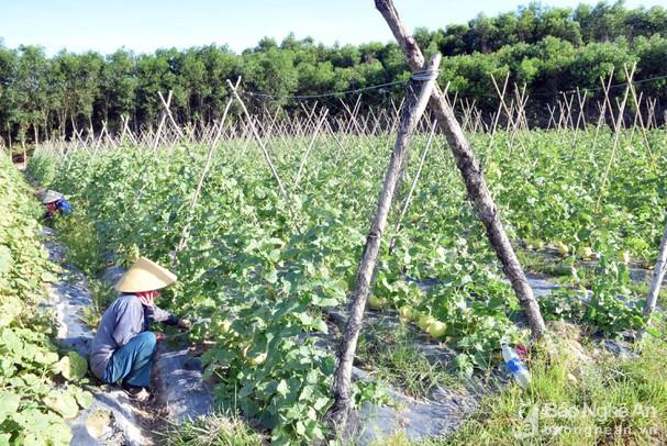Dưa lưới trồng ngoài trời ở Nghệ An trĩu quả, đắt hàng ngày nắng nóng - Ảnh 3.