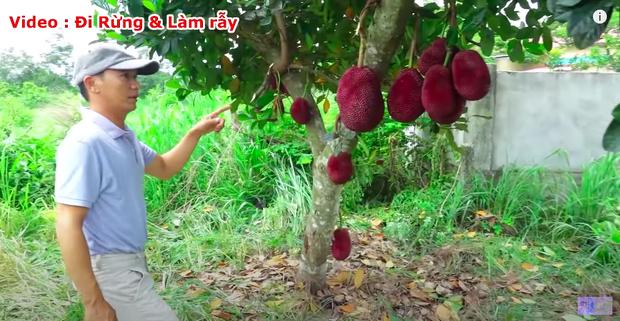 """Thực hư về quả mít vỏ đỏ """"độc nhất vô nhị"""" tại Việt Nam đang khiến cộng đồng mạng tranh cãi: Lẽ nào lại là chiêu trò """"câu view""""? - Ảnh 2."""