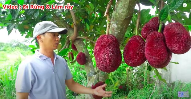 """Thực hư về quả mít vỏ đỏ """"độc nhất vô nhị"""" tại Việt Nam đang khiến cộng đồng mạng tranh cãi: Lẽ nào lại là chiêu trò """"câu view""""? - Ảnh 4."""