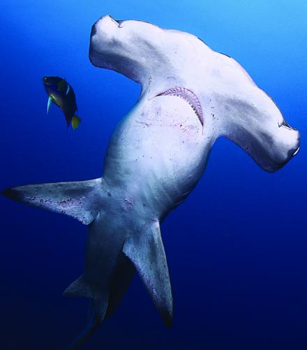 Chiếc búa ở đầu loài cá mập này có chức năng cảm nhận con mồi, vận động và thực hiện thao tác khi săn mồi.