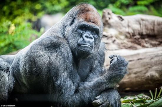 1001 thắc mắc: Những loài động vật nào có nguy cơ biến mất vĩnh viễn trên Trái Đất? - Ảnh 8.