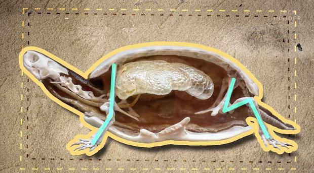 Đây là những gì có bên trong chiếc mai của một con rùa, và đảm bảo chúng sẽ khiến bạn há mồm kinh ngạc - Ảnh 1.