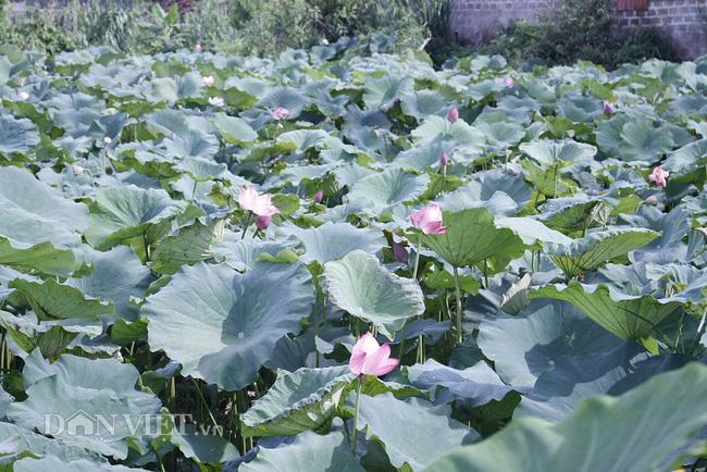 Lai Châu: Ao thả cá chả vui, trồng cây lá to như cái thúng lại đông người tới xem - Ảnh 5.