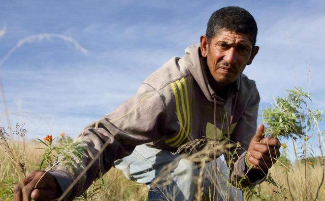Cây Artemisia có phải là tiên dược chống Covid-19 của Châu Phi?