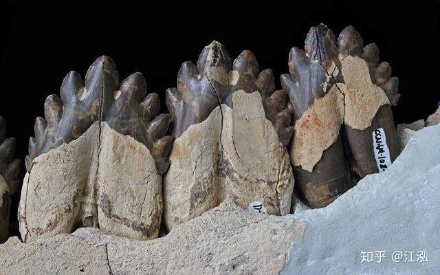 Cá voi răng vương miện: Làm sáng tỏ điểm khởi đầu của sự tiến hóa của cá voi tấm sừng - Ảnh 5.