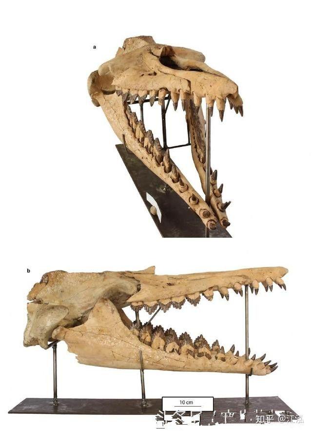 Cá voi răng vương miện: Làm sáng tỏ điểm khởi đầu của sự tiến hóa của cá voi tấm sừng - Ảnh 8.