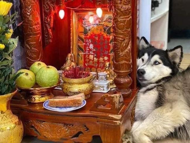 """Chú chó Husky nằm """"chầu chực"""" mãi cạnh bàn thờ thần tài chỉ vì một miếng thịt, dân tình gật gù đúng là... khổ vì ăn - Ảnh 1."""