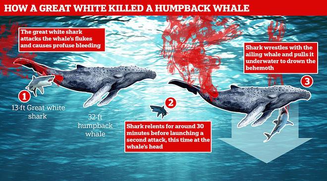 Lần đầu tiên trong lịch sử ghi lại cảnh cá mập trắng khổng lồ hạ gục cá voi - Ảnh 2.
