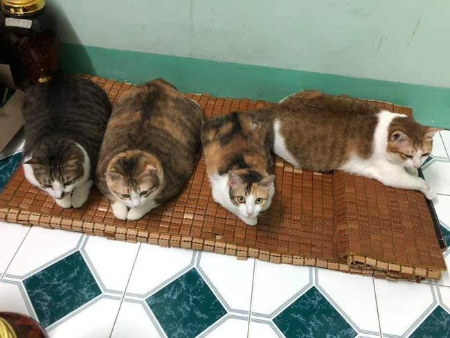 Đàn mèo mập ú na ú nần khiến dân tình phát sốt, lương tháng bao nhiêu cũng tình nguyện dành hết để nuôi cho béo - Ảnh 1.
