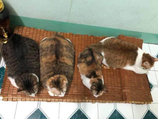Đàn mèo mập ú na ú nần khiến dân tình phát sốt, lương tháng bao nhiêu cũng tình nguyện dành hết để nuôi cho béo - Ảnh 2.
