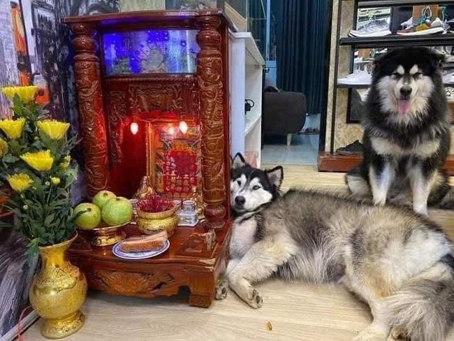 """Chú chó Husky nằm """"chầu chực"""" mãi cạnh bàn thờ thần tài chỉ vì một miếng thịt, dân tình gật gù đúng là... khổ vì ăn - Ảnh 3."""