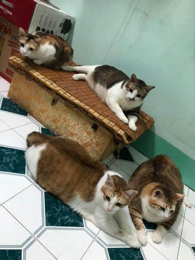 Đàn mèo mập ú na ú nần khiến dân tình phát sốt, lương tháng bao nhiêu cũng tình nguyện dành hết để nuôi cho béo - Ảnh 5.