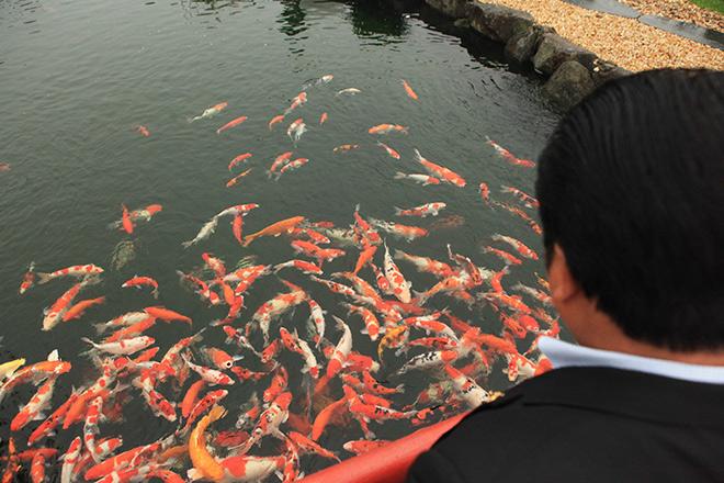 Chơi cây cảnh tiền tỷ chưa đã, đại gia nổi danh Thái Nguyên mua hẳn đá quý làm hồ cá Koi - Ảnh 2.