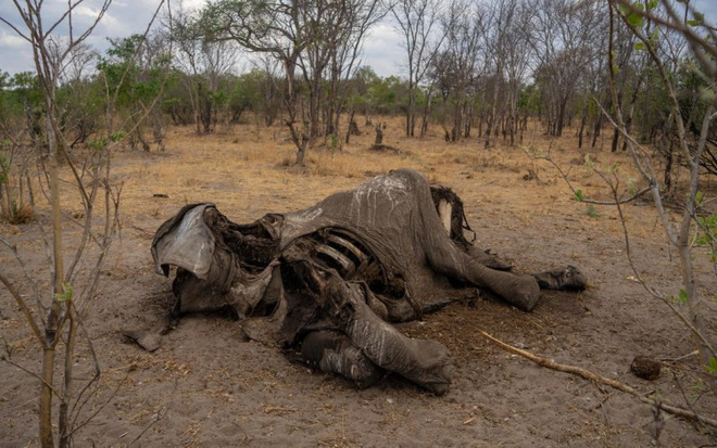 Hàng trăm con voi gục chết bí ẩn, thảm họa bảo tồn chưa từng thấy khiến khoa học hoảng loạn không hiểu tại sao - Ảnh 2.