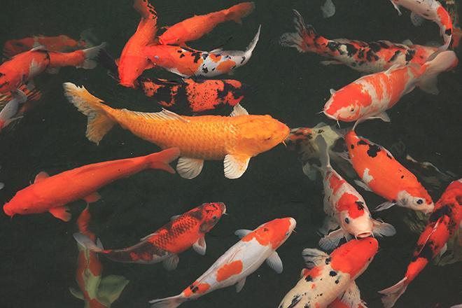 Chơi cây cảnh tiền tỷ chưa đã, đại gia nổi danh Thái Nguyên mua hẳn đá quý làm hồ cá Koi - Ảnh 5.