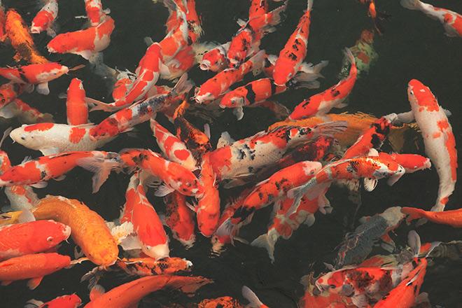 Chơi cây cảnh tiền tỷ chưa đã, đại gia nổi danh Thái Nguyên mua hẳn đá quý làm hồ cá Koi - Ảnh 6.