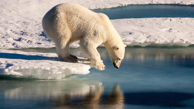 Tin cực xấu: Thời điểm gấu trắng Bắc Cực có thể tuyệt chủng hoàn toàn đã được xác định, và nó gần hơn chúng ta tưởng rất nhiều - Ảnh 1.