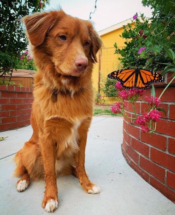 Hy hữu: Chú chó sở hữu tình bạn vô cùng đáng yêu với loài bướm vua, được gọi là vua bướm - Ảnh 5.