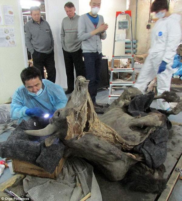 Bò rừng Kỷ Băng hà sống dậy sau 9.300 năm ngủ sâu dưới lớp băng vĩnh cửu - Ảnh 1.