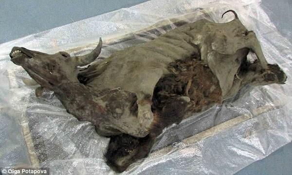 Bò rừng Kỷ Băng hà sống dậy sau 9.300 năm ngủ sâu dưới lớp băng vĩnh cửu - Ảnh 2.