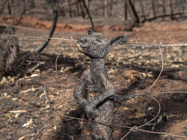 Năm 2020 hoang tàn của người Úc: Chưa kể đại dịch, trận cháy rừng đại thảm họa hồi đầu năm đã khiến gần 3 TỈ sinh vật khốn khổ - Ảnh 1.