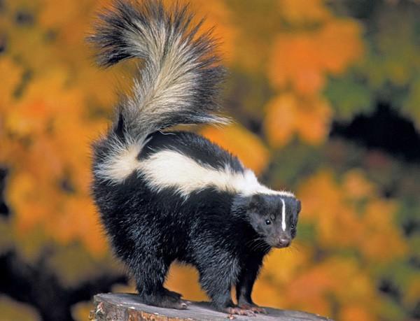 1001 thắc mắc: Những loài động vật nào bốc mùi đáng sợ nhất thế giới? - Ảnh 2.