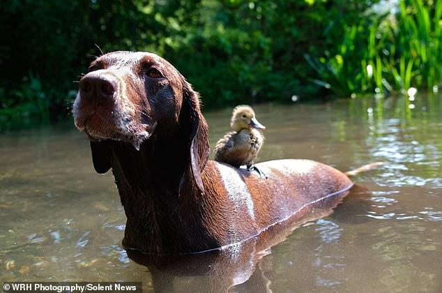 Chú chó làm bảo mẫu bất đắc dĩ của vịt con nhưng luôn cưng nựng hết mực, đi đâu cũng cõng trên lưng - Ảnh 5.